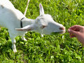 Free Goat On Meadow Royalty Free Stock Image - 18669466
