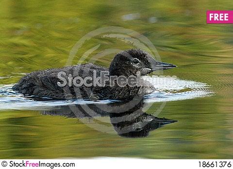 Common Loon Chick - Haliburtoon, Ontario Stock Photo
