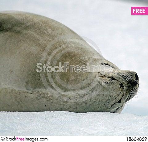 Crabeater Seal 7 Stock Photo