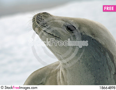 Crabeater Seal 8 Stock Photo
