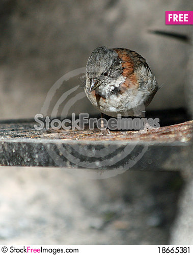 Rufous-necked Sparrow Stock Photo