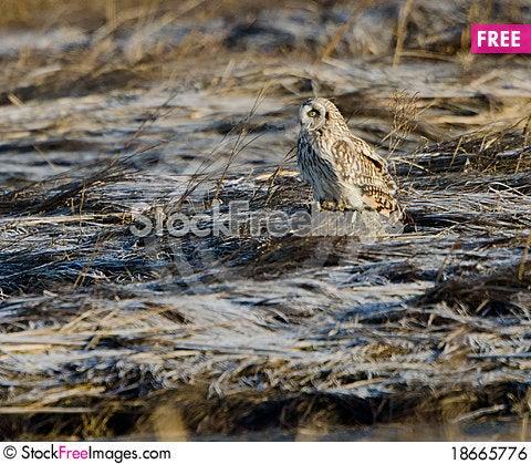 Short eared owl (Asio flammeus) Stock Photo