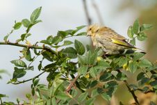 Free Greenfinch Royalty Free Stock Image - 18660136