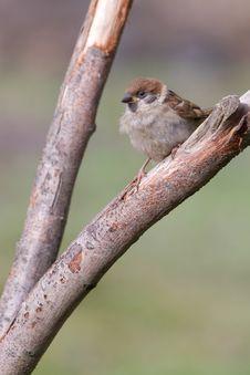 Free Tree Sparrow Royalty Free Stock Photo - 18660175