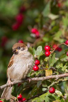 Free Tree Sparrow Royalty Free Stock Photos - 18660188