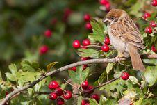 Free Tree Sparrow Royalty Free Stock Image - 18660206