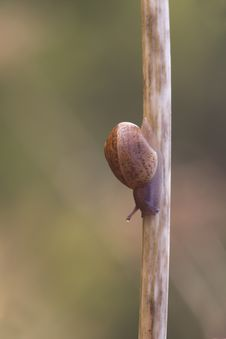 Free Snail Royalty Free Stock Photos - 18660788