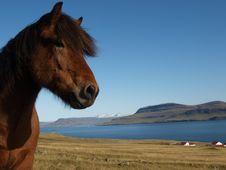 Free Icelandic Horse Royalty Free Stock Image - 18660956