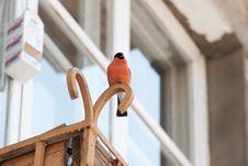 Free Bullfinch Stock Images - 18661154