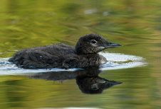 Free Common Loon Chick - Haliburtoon, Ontario Royalty Free Stock Image - 18661376