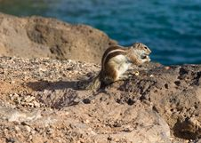 Free Ground Squirrel Royalty Free Stock Photography - 18661507