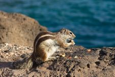Free Ground Squirrel Stock Photo - 18661520