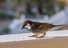 Free Sparrow Royalty Free Stock Photos - 18661688