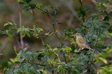 Free Greenfinch (Carduelis Chloris) Stock Photo - 18662110