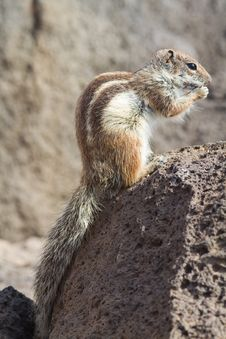 Free Ground Squirrel Royalty Free Stock Photography - 18662207