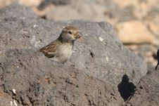 Free Sparrow Stock Image - 18662721