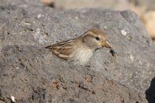 Free Sparrow Stock Image - 18662761