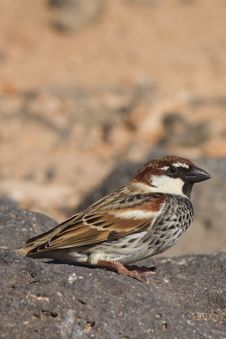 Free Sparrow Royalty Free Stock Images - 18662979