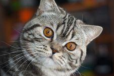 The British Cat Stock Photos