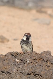 Free Sparrow Royalty Free Stock Images - 18663019