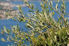 Free Olive Tree Stock Images - 18663104