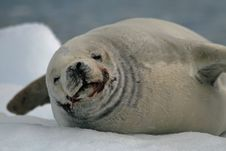 Free Crabeater Seal Royalty Free Stock Photos - 18663968