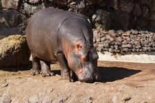 Free Hippopotamus Stock Images - 18664194