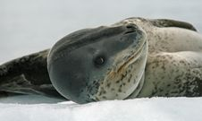 Free Leopard Seal 3 Royalty Free Stock Photo - 18664555