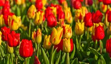 Field With Red And Yellow Tulips Royalty Free Stock Photos