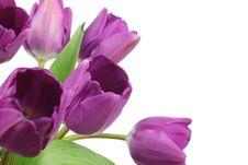 Free Purple Tulips Royalty Free Stock Image - 18664906