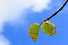 Free Blue Sky And Green Leaves Royalty Free Stock Photo - 18665105
