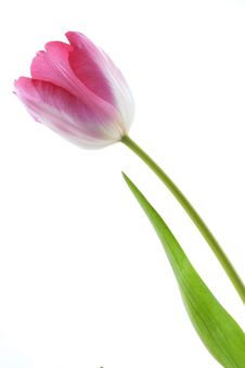 Free Pink Tulip Royalty Free Stock Photo - 18665205