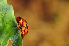 Bright Red Lady Bug On Green Cabbage Stock Photography