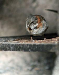 Free Rufous-necked Sparrow Stock Image - 18665381