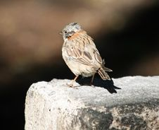 Free Rufous-necked Sparrow 2 Stock Photography - 18665402
