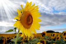 Free Happy Sunflower In A Field Royalty Free Stock Photography - 18665617