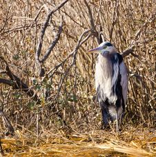 Free Great Blue Heron Royalty Free Stock Photo - 18665675