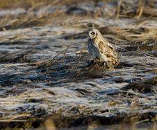 Free Short Eared Owl (Asio Flammeus) Royalty Free Stock Image - 18665776