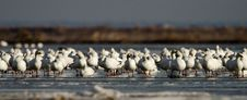 Free Snow Geese (Chen Caerulescens) Stock Photos - 18665783