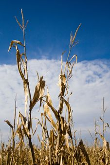 Corn Stalks Royalty Free Stock Photos