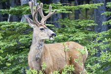 Free Smiling Deer Stock Photos - 18666623