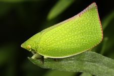 Free Green Leaf Hopper Stock Image - 18666851