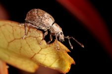 Free Weevil Royalty Free Stock Photos - 18666868