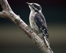Free Hairy Woodpecker Stock Image - 18666871