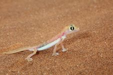 Free Palmato Gecko Lizard Side View Royalty Free Stock Image - 18668226
