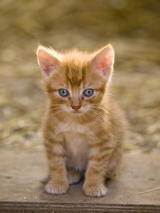 Free Cute Red Kitten Stock Photography - 18668392