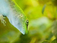 Free Giant Day Gecko Stock Photos - 18668523