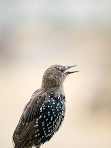 Free European Starling Stock Photography - 18668642