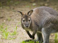 Free Small Kangaroo Stock Image - 18668671