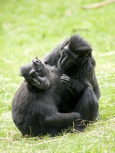 Free Crested Black Macaque Stock Photos - 18668693